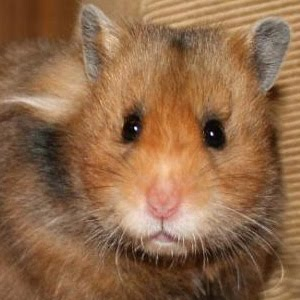 Long Haired Hamster Colors 6